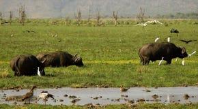 буйвол Стоковое фото RF