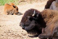буйвол Стоковая Фотография