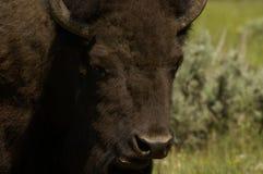 буйвол стоковое фото