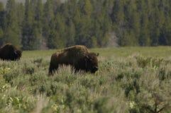 буйвол стоковое изображение rf