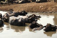 буйвол Стоковые Изображения