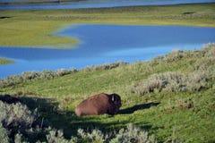 буйвол Стоковые Фотографии RF