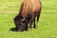 Буйвол американского бизона (бизона бизона) просто Стоковые Изображения RF