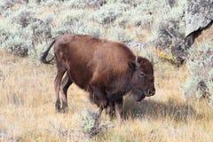 буйвол американского зубробизона Стоковое фото RF