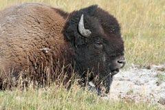 буйвол американского зубробизона Стоковая Фотография RF