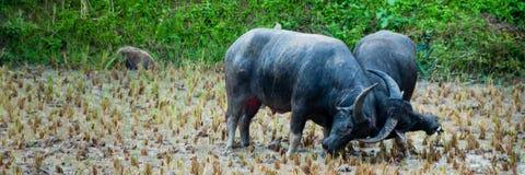 2 буйвола азиатского буйвола воюя в грязи на a Стоковое Изображение RF