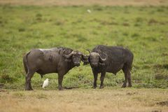 2 буйвола в саванне Стоковое фото RF