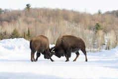 Буйвол воюя в зиме Стоковые Фото