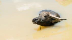 Буйвол в воде Стоковое фото RF