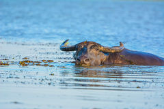 Буйвол в озере Стоковая Фотография