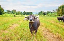 Буйвол в поле стоковое изображение rf