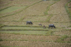 Буйвол в террасах риса field в Mae Klang Luang, Чиангмае, Таиланде Стоковые Фотографии RF