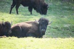 Буйвол лежа в горах Теннесси зеленой травы закоптелых Стоковая Фотография