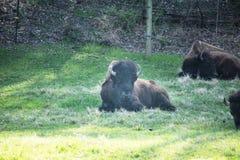 Буйвол лежа в зеленой траве около закоптелых гор Теннесси Стоковое Изображение RF