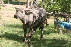 Буйвол, земледелие, ферма, рис, тайские фермеры, alatus Dipterocarpus Стоковое Изображение RF