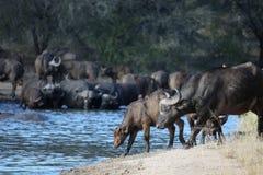 Буйвол икры и коровы африканский приходит к waterhole Стоковая Фотография RF