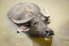 Буйвол, индийский буйвол, Стоковое Изображение