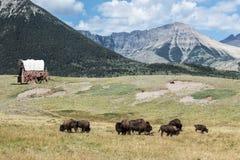 Буйвол кочуя земля при покрытая фура сидя в поле с маячить гор стоковые фотографии rf