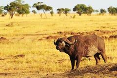 Буйвол накидки Mara Masai Стоковое фото RF