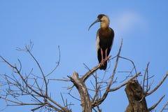 Буйволовая кожа-necked Ibis в чуть-чуть дереве стоковое изображение rf