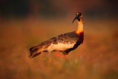Буйволовая кожа-necked Ibis, caudatus Theristicus, экзотическая птица в среду обитания природы, птица сидя в траве с красивым све Стоковые Фотографии RF
