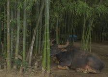 Буйвол около бамбука Стоковая Фотография