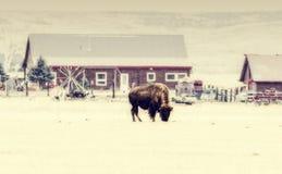 Буйвол пася в снеге зимы Стоковое Фото