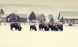 Буйвол пася в снеге зимы Стоковые Фото