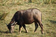 буйвол пася Стоковые Фотографии RF
