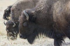 буйвол пася стоковое изображение rf