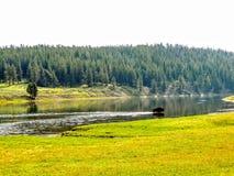 Буйвол реки национального парка Йеллоустона стоковая фотография