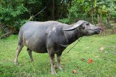 буйвол тайский Стоковое Изображение RF