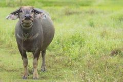 буйвол тайский Стоковые Фото