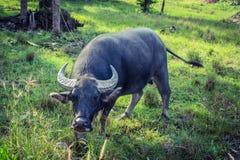 буйвол тайский стоковая фотография rf