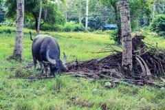 буйвол тайский стоковые фотографии rf
