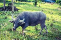буйвол тайский стоковые изображения rf