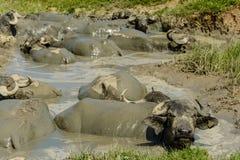 Буйволы в грязи от деревни Bazna, Sibiu County, Трансильвании, Румынии стоковые изображения