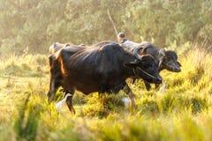 Буйволы на национальном парке Chitwan, Непале стоковые изображения
