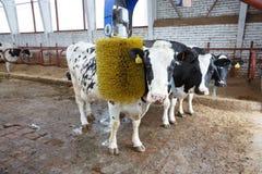буйволы принимая ванну Стоковые Фотографии RF