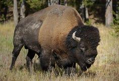 Буйвол Bull Стоковое Фото