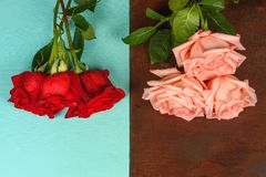Букеты красных и розовых роз на темном и голубом деревянном крупном плане предпосылки Стоковое Изображение RF