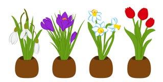Букеты установили snowdrop, narcissus и крокуса весны в цветочных горшках изолированных на белизне также вектор иллюстрации притя стоковые фото
