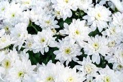 Букеты цветков хризантемы цветения белых Стоковая Фотография