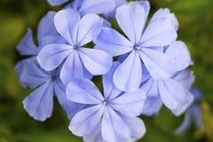 букет ฺฺภroseus Catharanthus Стоковые Изображения RF
