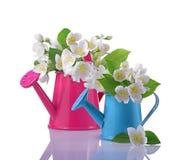Букет белого жасмина цветет с листьями в розовых и голубых лейках Стоковое Изображение RF