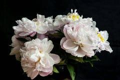 Букет белого пиона увядать цветет на черном backdorp стоковые фотографии rf