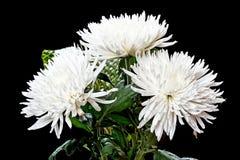 Букет белых хризантем на черноте Стоковое Фото