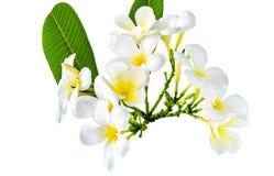 Букет белого цветка plumeria с некоторыми лист Стоковое фото RF