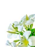 Букет белого цветка plumeria с некоторыми лист Стоковая Фотография