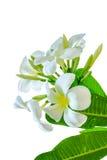 Букет белого цветка plumeria с некоторым пастбищем Стоковая Фотография